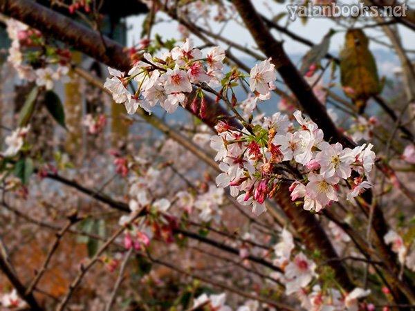 Taiwan Travel Spring  Cherry Flowers Tamsui photography Romanticism 臺灣旅行 山寺櫻花 花卉攝影 浪漫主義 Yalan雅嵐 黑攝會